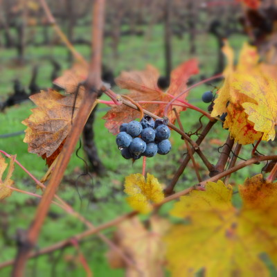 Grape from Wine Tours in Tuscany